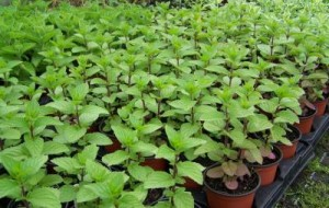 Herb Plants growing at The Herb Patch