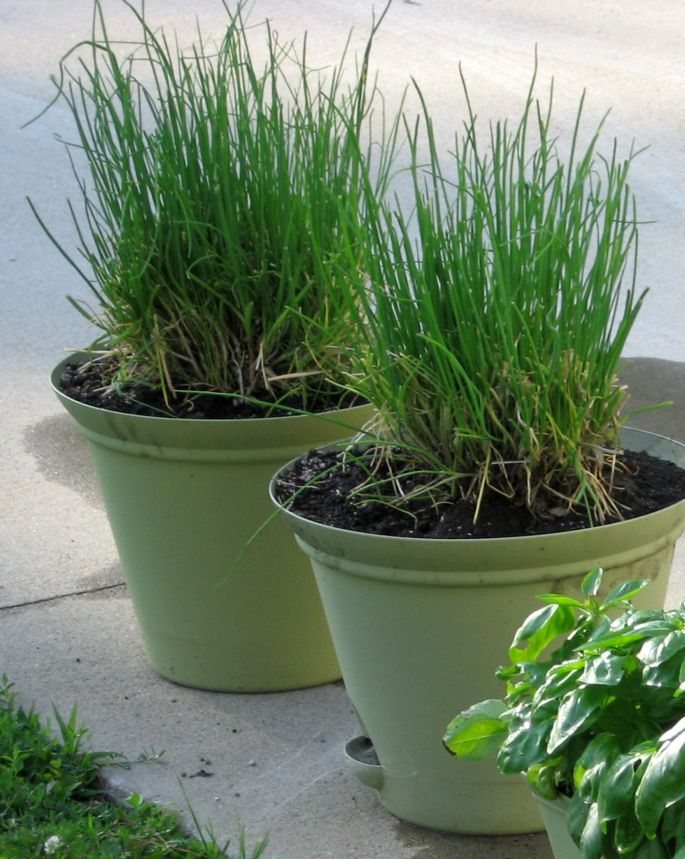 Image of: Chives In Winter