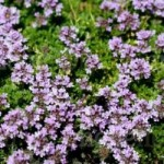 thyme russetings