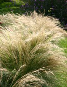 Ponytails grass