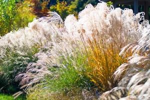 Autumn garden of ornamental grasses