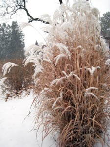 grasses winter