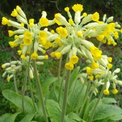 Cowslips available at The Herb Patch